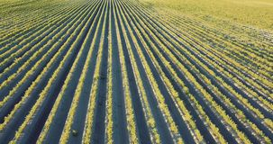 Agricultura, campo de la zanahoria en verano almacen de video