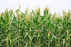 Agricultura, campo de maíz imagenes de archivo