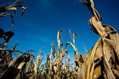 Agricultura - campo de maíz Imágenes de archivo libres de regalías