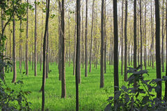 Agricultura, cultivación y cultivo de árbol de álamo Fotos de archivo