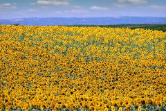 Agricultura da temporada de verão do campo do girassol Imagens de Stock Royalty Free