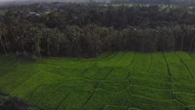 Agricultura de Asia de la terraza de la planta de arroz almacen de video