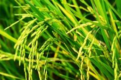 Agricultura de la cosecha del arroz Imágenes de archivo libres de regalías