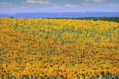 Agricultura de la estación de verano del campo del girasol Imágenes de archivo libres de regalías