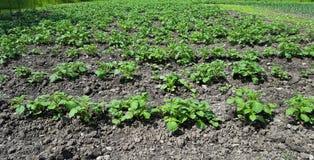 Agricultura de patatas Foto de archivo