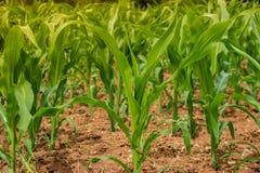 Agricultura del campo de maíz Tierra de cultivo rural en verano Crecimiento vegetal Foto de archivo