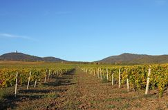 Agricultura del paisaje del viñedo Foto de archivo libre de regalías