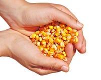 Agricultura do alimento do milho imagem de stock royalty free