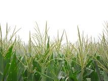 Agricultura do campo de milho Imagens de Stock Royalty Free