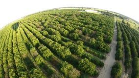 Agricultura do citrino de Florida video estoque