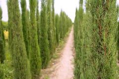 Agricultura do ornamental das árvores de Cypress Foto de Stock