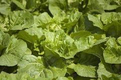 Agricultura e explorações agrícolas - veges frondosos Fotografia de Stock Royalty Free