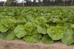Agricultura e explorações agrícolas - veges frondosos Foto de Stock Royalty Free