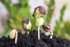 Agricultura e semeação do conceito crescente da etapa da semente da planta Imagens de Stock Royalty Free