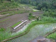 Agricultura em Ásia, campos do arroz Fotos de Stock