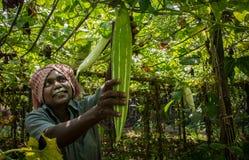 Agricultura en Kerala cosecha imagen de archivo