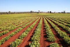 Agricultura, filas del campo del cacahuete Fotografía de archivo libre de regalías
