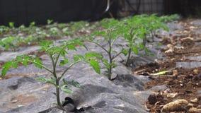 Agricultura, filme cultivado da palha de canteiro do campo video estoque