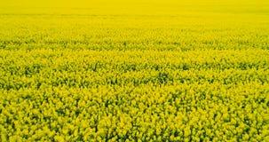 AGRICULTURA - Flor del Canola, campo amarillo de la violación de semilla oleaginosa