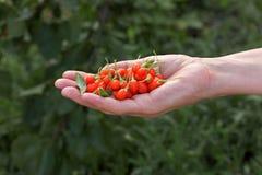 Agricultura, fruto de baga do goji imagem de stock