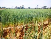 Agricultura india de la cosecha del trigo imagenes de archivo