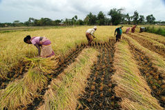 Agricultura indiana imagens de stock