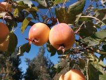 Agricultura, maçã, cor, exploração agrícola, folha, alimento, fruto, jardim, verde, folha, folhas, pouco, naturais, natureza, pom imagem de stock royalty free