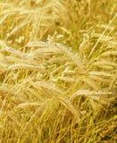 Agricultura, milho crescente Foto de Stock Royalty Free