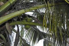 Agricultura misturada do coco da opinião de parque natural imagens de stock royalty free