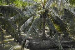 Agricultura misturada do coco da opinião de parque natural fotografia de stock