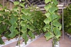 Agricultura moderna cada vez mayor de las verduras del tubo Fotografía de archivo libre de regalías