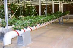 Agricultura moderna crescente dos vegetais da tubulação Fotos de Stock Royalty Free