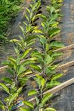 Agricultura orgânica em uma estufa em Ste-Anne-DES-Plaines, Quebe Fotografia de Stock Royalty Free