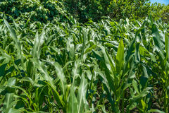 Agricultura pequena do campo de milho Natureza verde Terra de exploração agrícola rural em s Imagens de Stock Royalty Free