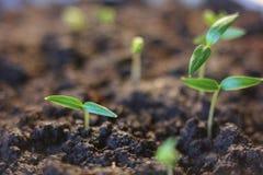 agricultura Plantas crescentes Plântula da planta Entregue as plantas novas de consolidação e molhando do bebê que crescem na ger fotografia de stock