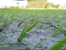 Agricultura que cultiva fango dhaan del agua del cuarto de niños imagen de archivo libre de regalías