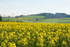 Agricultura suíça - campo da colza com nuvem bonita - planta para a energia verde fotografia de stock