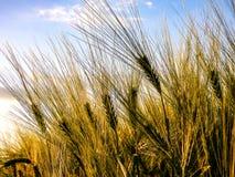 Agricultura verde do campo de trigo Imagens de Stock