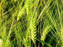 Agricultura verde do campo de trigo Imagem de Stock