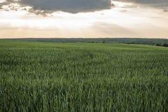 Agricultura verde nova do campo da cevada com um céu do por do sol Produto natural Paisagem de Agricaltural Foto de Stock Royalty Free