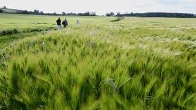 Agricultura - viento - cosecha de la cebada almacen de video