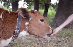 Agricultural animal calf. animal calf grazed in a meadow. bulloc Stock Photo