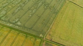 Agricultural area - aerial view. Devastated wheat fields by wild animals and thunderstorms, crop loss - aerial view stock video