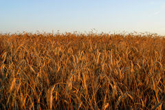 Agricultural autumn field. Harvest, blue royalty free stock image