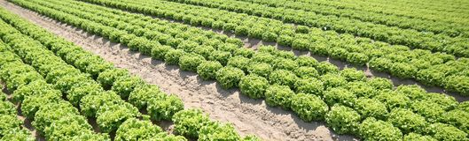Agricultural background of an immense field cultivated with gree. N lettuce on the plain in summer Royalty Free Stock Image