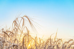 Agricultural background with ripe ears of rye in the golden rays of the low summer sun backlight Royalty Free Stock Photo