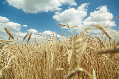 Agricultural background. Ripe golden spikelets of wheat in field Royalty Free Stock Photos