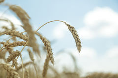 Agricultural background. Ripe golden spikelets of wheat in field Royalty Free Stock Images