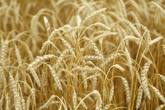 Agricultural background. Ripe golden spikelets of wheat in field Royalty Free Stock Image