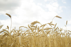 Agricultural background. Ripe golden spikelets of wheat in field Stock Photos